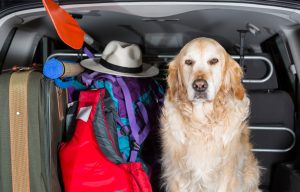 Golden Retriever in the boot of the car ready to leave home